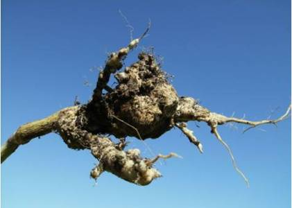 Becoming Club Resistant Root in Western Canada
