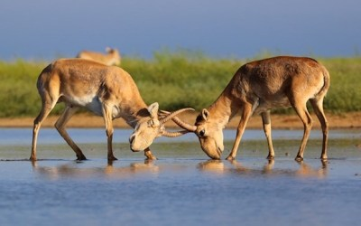 Saiga Die-Off Update: Surprising Findings