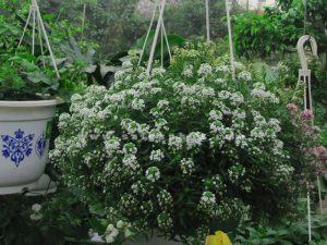 hoa huong tuyet cau