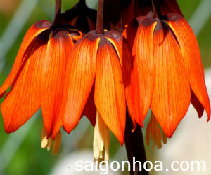 fritillaria flower