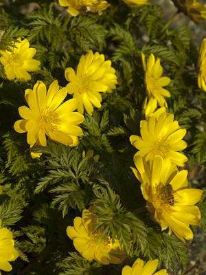 hoa adonis