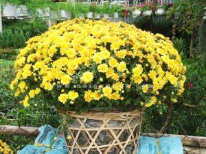 gio hoa cuc mam xoi