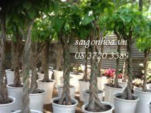 vườn cây kim ngân
