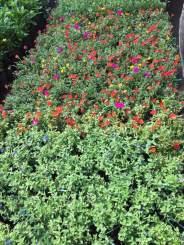 cây hoa 10 giờ - cây hoa thanh tú