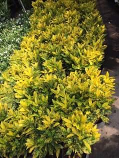 cây lá màu - cây vàng bạc