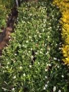 cây hoa mai chỉ thiên