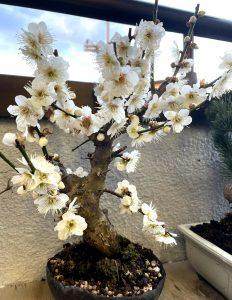 花が咲いた冬至の盆栽|SAIJO|京都 宇治|オーダーメイドジュエリー