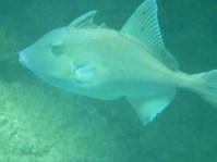 Triggerfish (aka DINNER!)