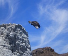 Osprey jumping into the air