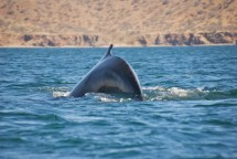 Our resident whale in Bahia San Francisquito