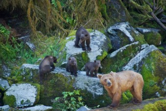 Momma brown bear and her cubs