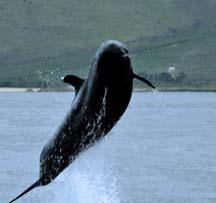 Image result for orcas breaching