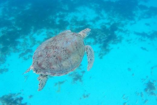 Grenadines Wasserschildkroete