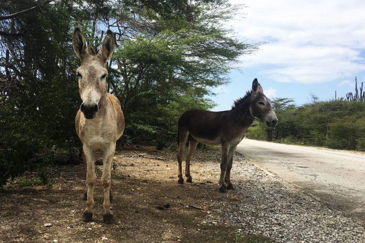 Bonaire Esel