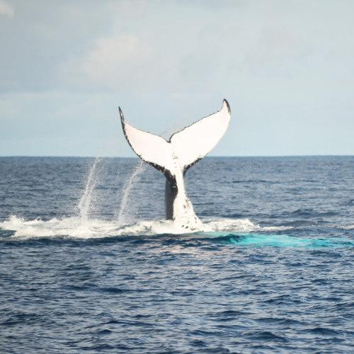 Tonga Wal Schwanz