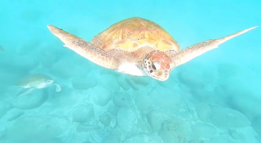 culture clash loggerhead sea turtle