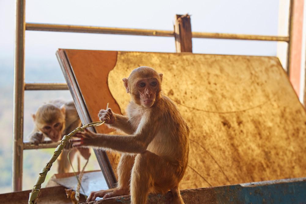 Mount Popa Monkeys