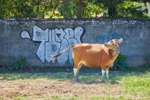Graffiti Cow