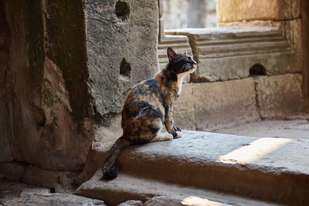 Bayon Angkor Thom Cat
