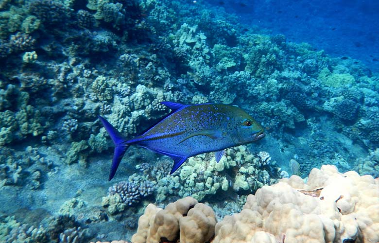 molokini-snorkeling-blue-tropical-fish