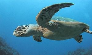 THE MAGIC OF A HAWAIIAN SEA TURTLE