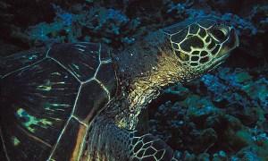sea-turtle-ula-beach