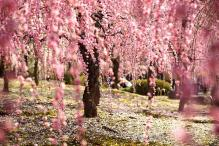cherry-blossom-sakura-16