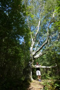 Koster islands king birch tree