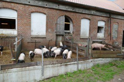 Kattendorfer Hof pig stable