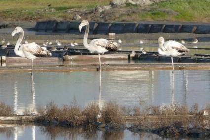 Aveiro flamingos