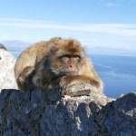 Gibraltar's Rock monkeys