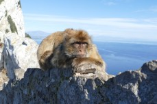 Gibraltar's Rock monkeys