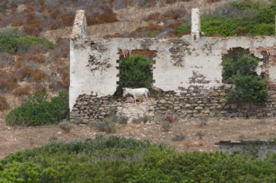 Albino donkey in Asinara ruins