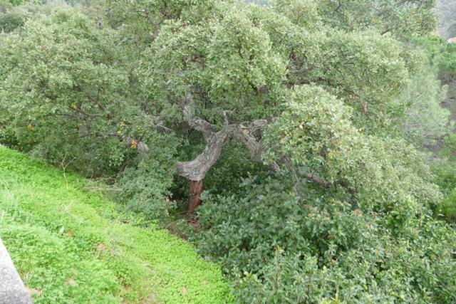 Cork oaks alongside the road