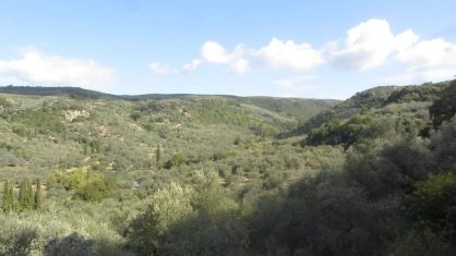 Olive trees as far as the eye can see