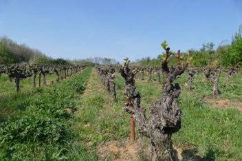 Vineyard at Solan Monastery