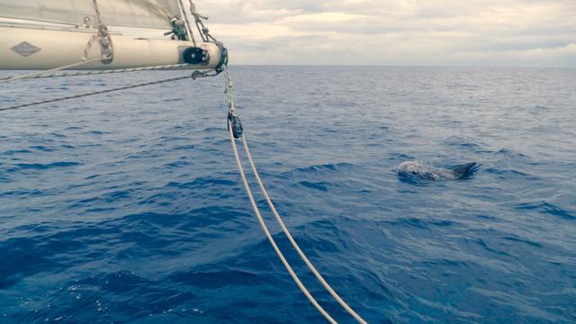 A Risso dolphin!