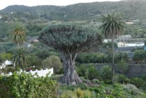 Icod Dragon Tree