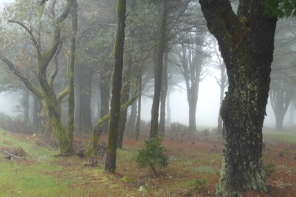 El Hierro's trees drinking from the fog