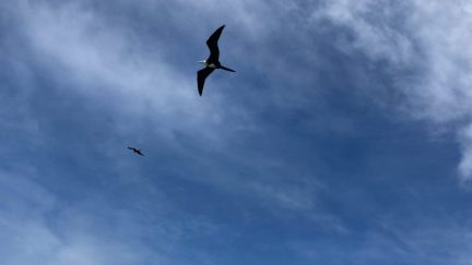Magnificent frigate birds