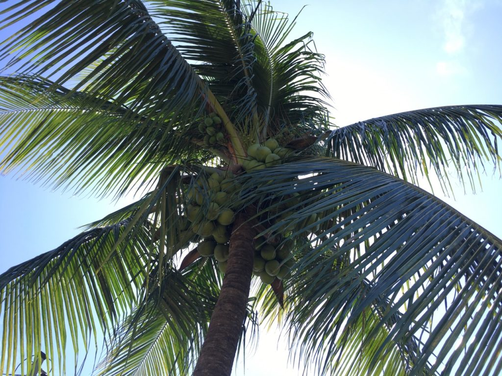 The first time we encounter coconut palm trees!