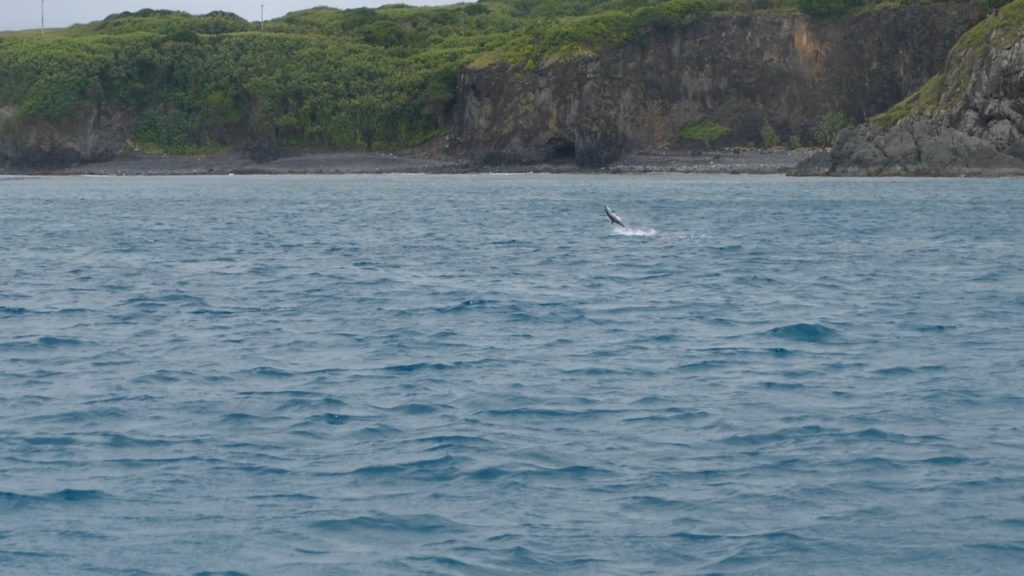 Spot the Spinner Dolphin