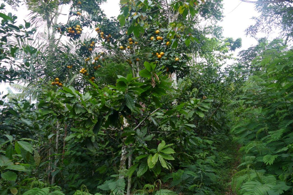 Mahogany, citrus and cacao