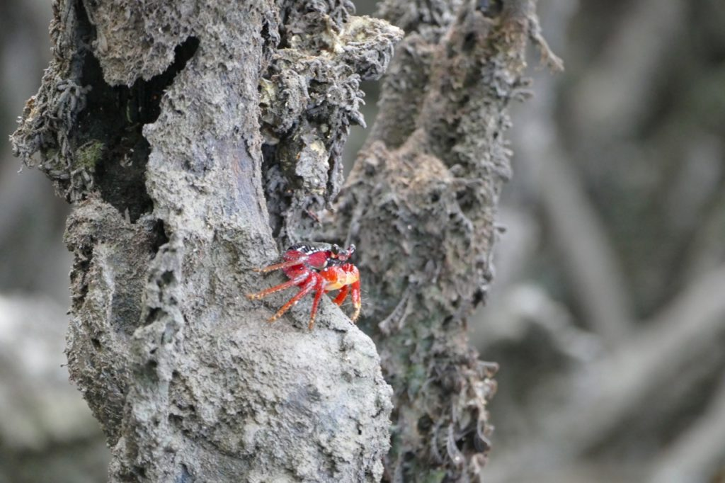 Red crab climbing the mangroves