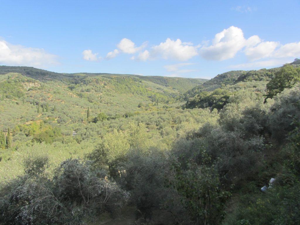 Olive trees everywhere in the Kalamata region