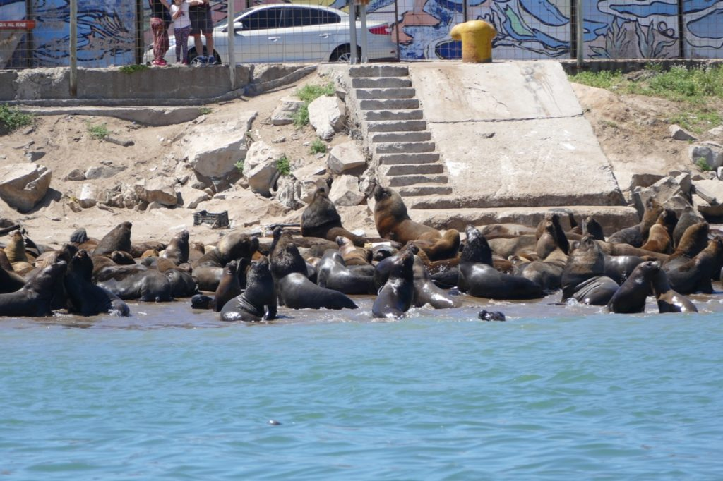 Sea Lions in the harbor of Mar del Plata