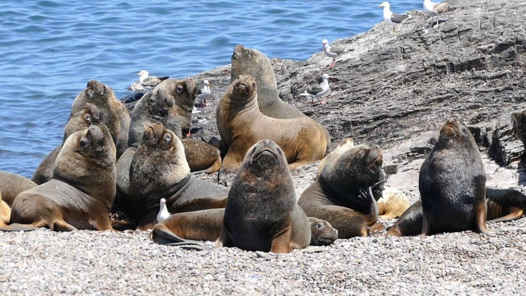 Sea lions bulls bunch