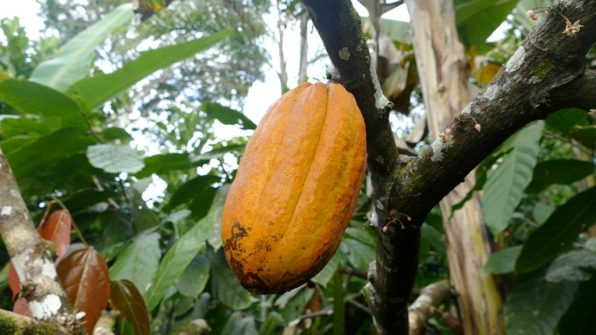 Healthy cocoa in Ernst Götsch's Food Forest