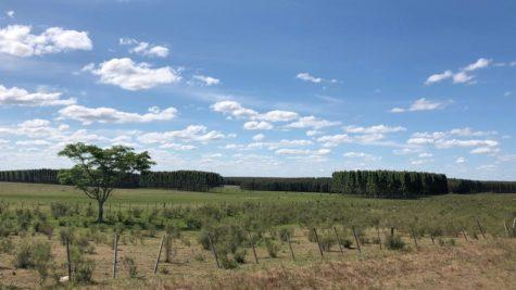 Uruguayan monoculture plains with eucalyptus trees