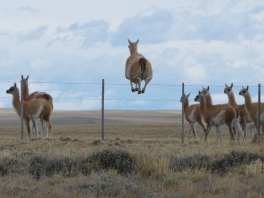 Guanaco jumping a fence in Torres del Paine
